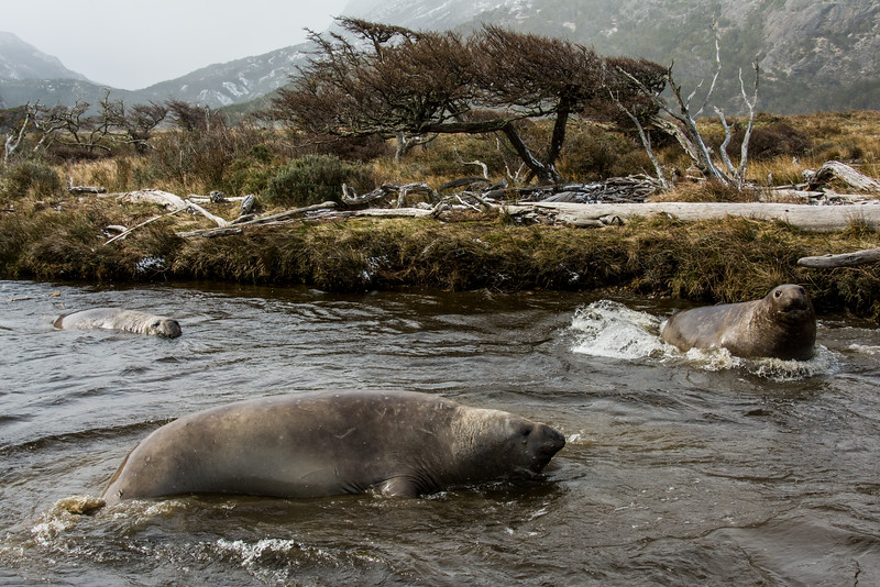 NAa914 Southern Elephant Seals (Mirounga leonina), Almirantazgo Bay, Chile