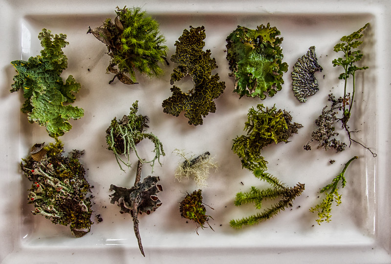 NBd76 Moss & Lichen Collection, sub-Antarctic Southern Beech (Nothofagus) Forest, Almirantazgo Bay, Chile