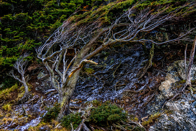 WAb615 Coastal sub-Antarctic Southern Beech (Nothofagus) Forest, Almirantazgo Bay, Patagonia, Chile