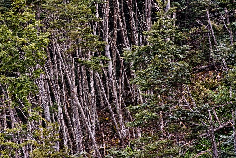 WAb818 sub-Antarctic Southern Beech (Nothofagus) Forest, Alberto De Agostini NP, Almirantazgo Bay, Patagonia, Chile