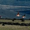 NAb7919 Chilean Flamingo (Phoenicopterus chilensis), La Anita Valley, El Calafate, Argentina