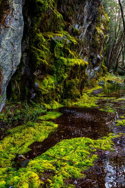 WAb860 Moss, sub-Antarctic Southern Beech (Nothofagus) Forest, Alberto De Agostini NP, Almirantazgo Bay, Chile