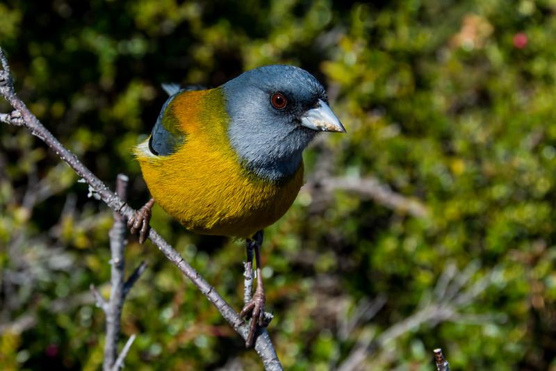 NAb7859 Patagonian Sierra-finch (Phrygilus patagonicus), Los Glaciares NP, Santa Cruz, Argentina