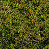 NBa1556 Calafate (Berberis microphylla), Los Glaciares NP, Santa Cruz, Argentina
