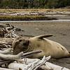 NAa813 Southern Elephant Seal (Mirounga leonina), Almirantazgo Bay, Chile
