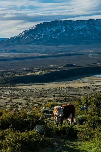 NAa1276 Cow, La Anita Valley, El Calafate, Argentina