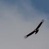 NAb7634 Andean Condor (Vultur gryphus), Almirantazgo Bay, Chile