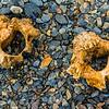 NAa859 Southern Elephant Seal Bones (Mirounga leonina), Almirantazgo Bay, Chile