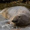 NAa911 Southern Elephant Seal (Mirounga leonina), Almirantazgo Bay, Chile
