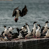 NAb7601  Imperial Shag Phalacrocorax atriceps; Punta Arenas, Chile