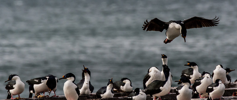 NAb7581  Imperial Shag Phalacrocorax atriceps; Punta Arenas, Chile