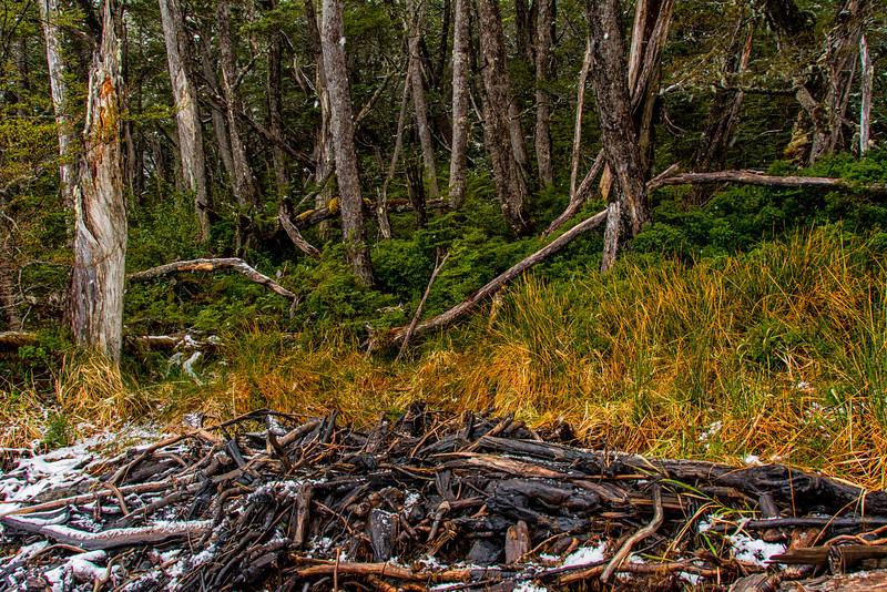 WAb788 sub-Antarctic Southern Beech (Nothofagus) Forest, Alberto De Agostini NP, Almirantazgo Bay, Patagonia, Chile