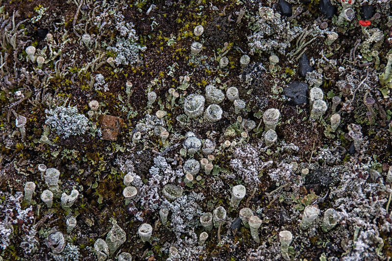 NBd53 Lichen (Cladonia sp.), sub-Antarctic Southern Beech (Nothofagus) Forest, Almirantazgo Bay, Chile