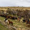 PB341 Gaucho, Dogs & Cattle, Patagonian Steppe, Cerro Castillo, Chile