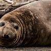 NAa846 Southern Elephant Seal (Mirounga leonina), Almirantazgo Bay, Chile