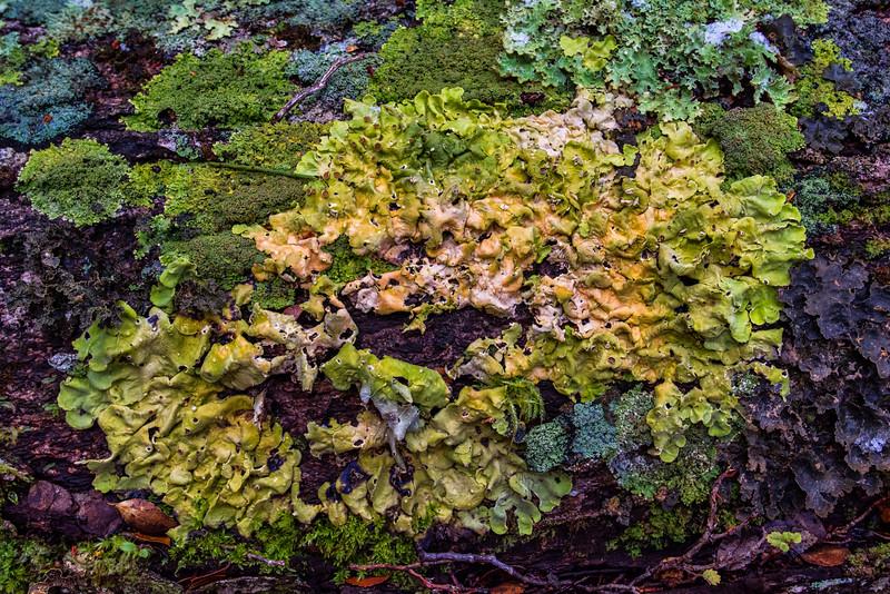 NBd19  Lichen (Pseudocyphellaria glabra), sub-Antarctic Southern Beech (Nothofagus) Forest, Almirantazgo Bay, Chile