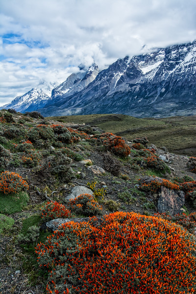 NBa1624 Fire Bush (Anarthrophyllum desideratum), Torres del Paine NP, Chile