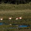 NAb7916 Chilean Flamingo (Phoenicopterus chilensis), La Anita Valley, El Calafate, Argentina