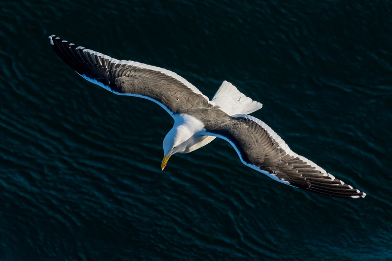 NAb7839 Kelp Gull (Larus dominicanus), Straight of Magellan, Chile