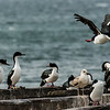 NAb7574  Imperial Shag Phalacrocorax atriceps; Punta Arenas, Chile