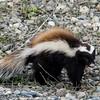 NAa1129 Patagonian Hog-nosed Skunk (Conepatus humboldtii), Patagonia, Chile
