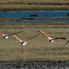 NAb7909 Chilean Flamingo (Phoenicopterus chilensis), La Anita Valley, El Calafate, Argentina