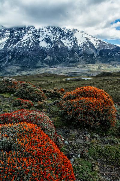 NBa1617 Fire Bush (Anarthrophyllum desideratum), Torres del Paine NP, Chile