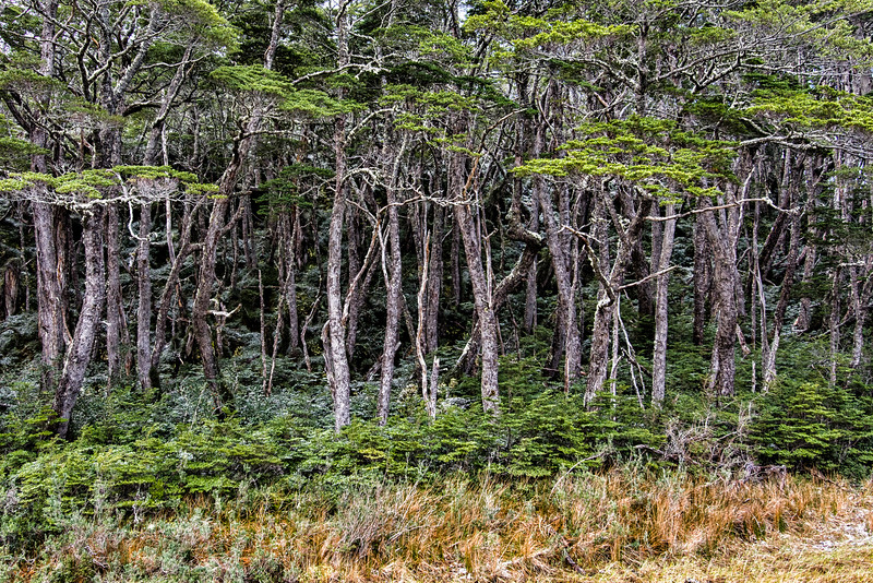 WAb881 sub-Antarctic Southern Beech (Nothofagus) Forest, Alberto De Agostini NP, Almirantazgo Bay, Patagonia, Chile