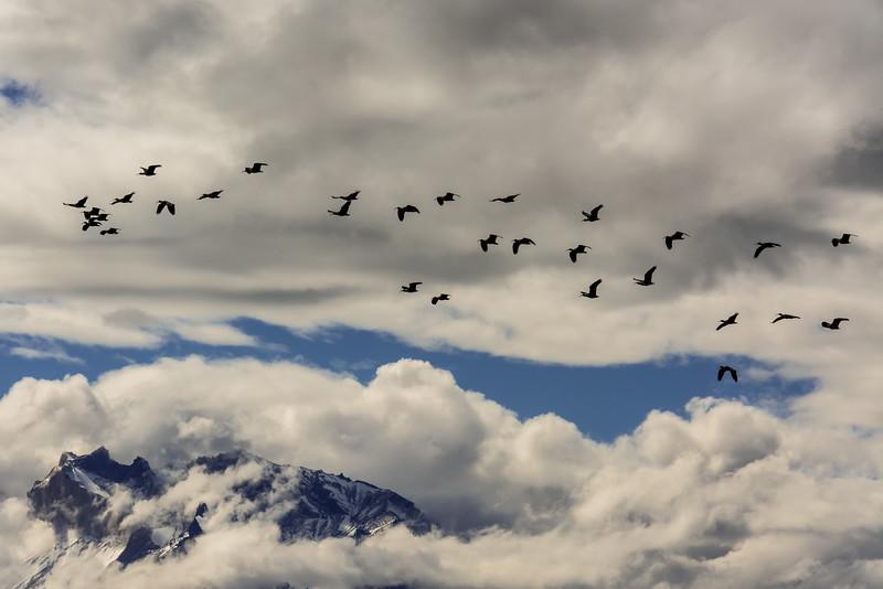 WAb2265 Black-faced Ibis (Theristicus melanopis) & Paine Massif, Torres del Paine NP, Chile