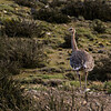 NAb8231 Darwin's rhea (Rhea pennata), pre-Andean Matorral, Torres del Paine NP, Chile