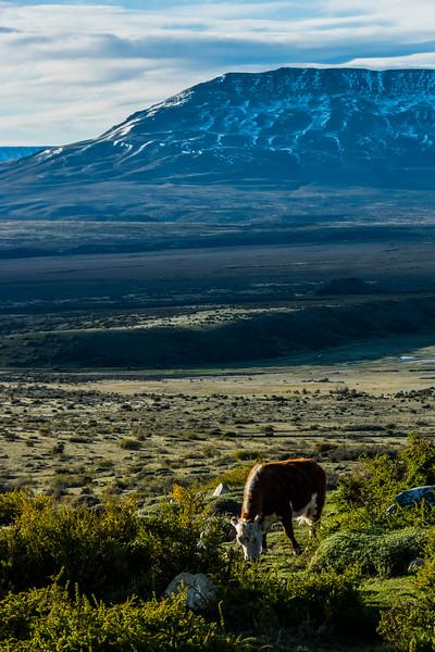 NAa1270 Cow, La Anita Valley, El Calafate, Argentina