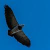 NAb7892 Black-chested Buzzard-eagle (Geranoaetus melanoleucus), Los Glaciares NP, Santa Cruz, Argentina