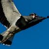NAb7928 Southern Lapwing (Vanellus chilensis), La Anita Valley, El Calafate, Argentina