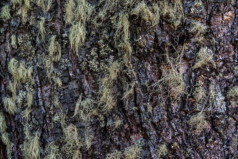 NBd36 Old Man's Beard (Usnea sp.),  sub-Antarctic Southern Beech (Nothofagus) Forest, Almirantazgo Bay, Chile