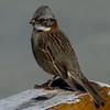 NAb7898 Rufous-collared Sparrow (Zonotrichia capensis), Los Glaciares NP, Santa Cruz, Argentina