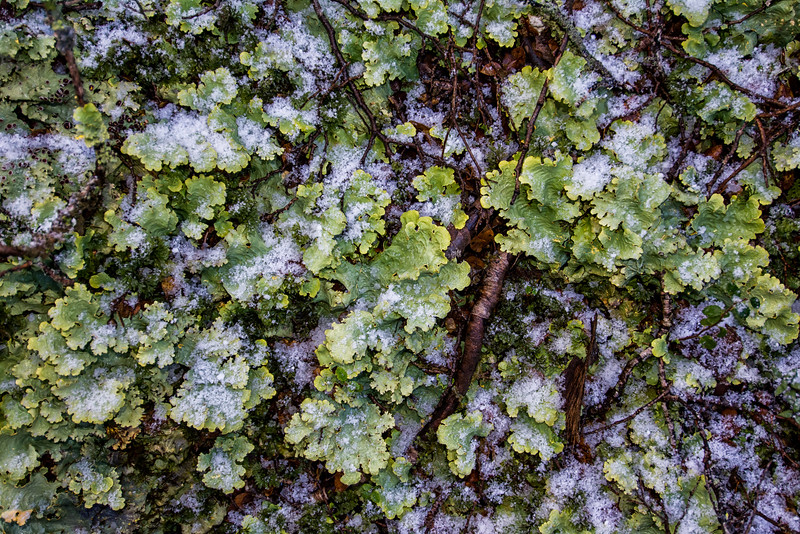 NBd30 Lichen (Pseudocyphellaria sp.), sub-Antarctic Southern Beech (Nothofagus) Forest, Almirantazgo Bay, Chile