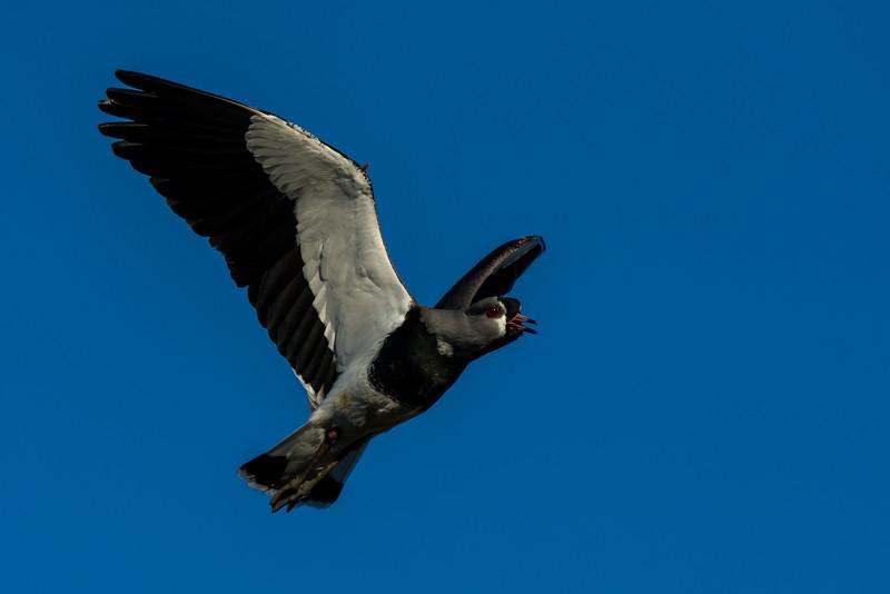 NAb7926 Southern Lapwing (Vanellus chilensis), La Anita Valley, El Calafate, Argentina