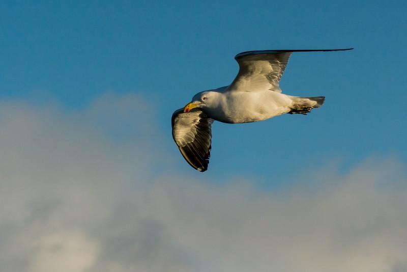 NAb7683 Kelp Gull (Larus dominicanus), Straight of Magellan, Chile