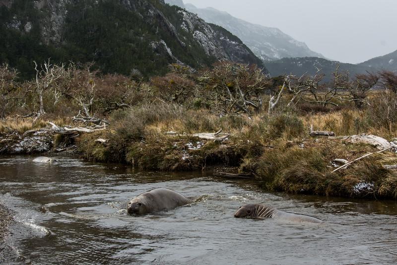 NAa882 Southern Elephant Seals (Mirounga leonina), Almirantazgo Bay, Chile