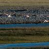 NAb7906 Chilean Flamingo (Phoenicopterus chilensis), La Anita Valley, El Calafate, Argentina