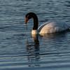 NAb8202 Black-necked Swan (Cygnus melancoryphus), Puerto Bories, Last Hope Sound, Chile