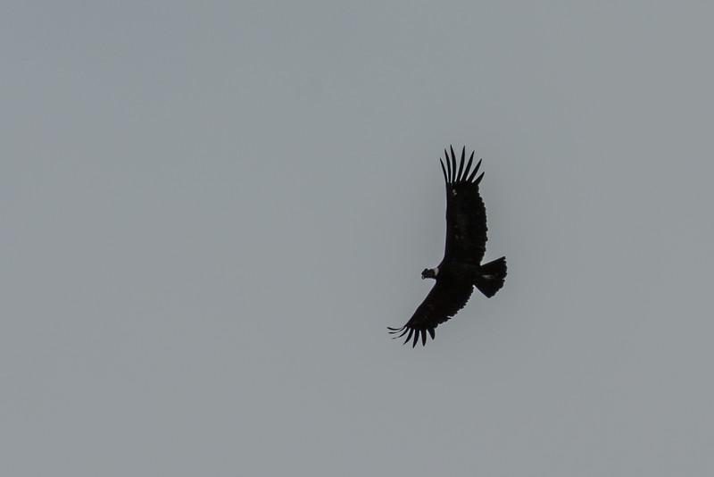 NAb7631 Andean Condor (Vultur gryphus), Almirantazgo Bay, Chile