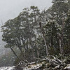 WAb742 Subantarctic Forest in Snow Storm, Almirantazgo Bay, Darwin Range, Patagonia, Chile