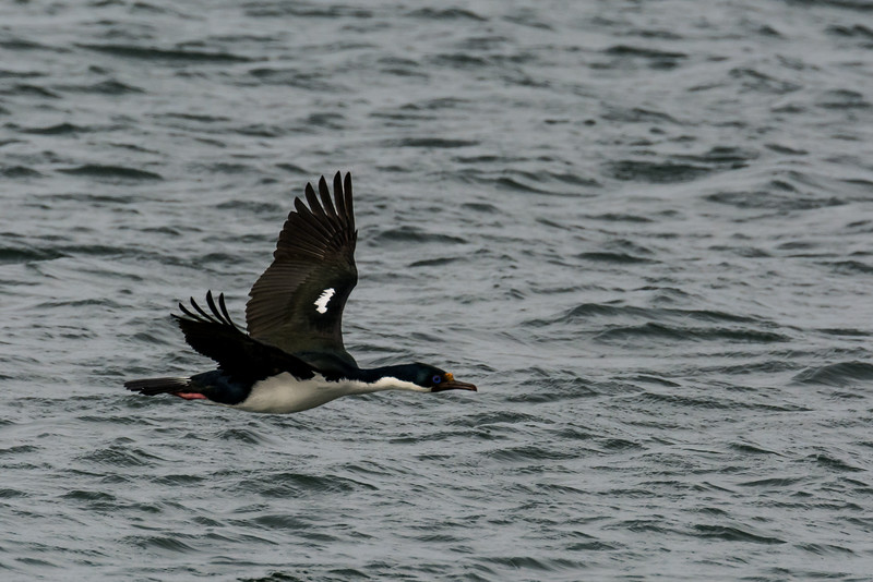 NAb7619  Imperial Shag Phalacrocorax atriceps; Punta Arenas, Chile