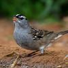 NAb7256 White-crowned Sparrow (Zonotrichia leucophrys), Edinburg, TX