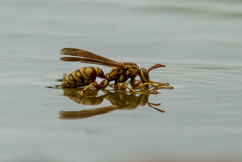 NAd335 Red & Yellow Wasp (Polistes bellicosus), Edinburg, TX