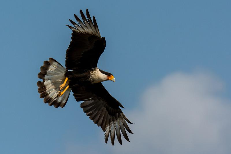 NAb7198 Crested Caracara (Caracara cheriway) Flying, Edinburg, TX