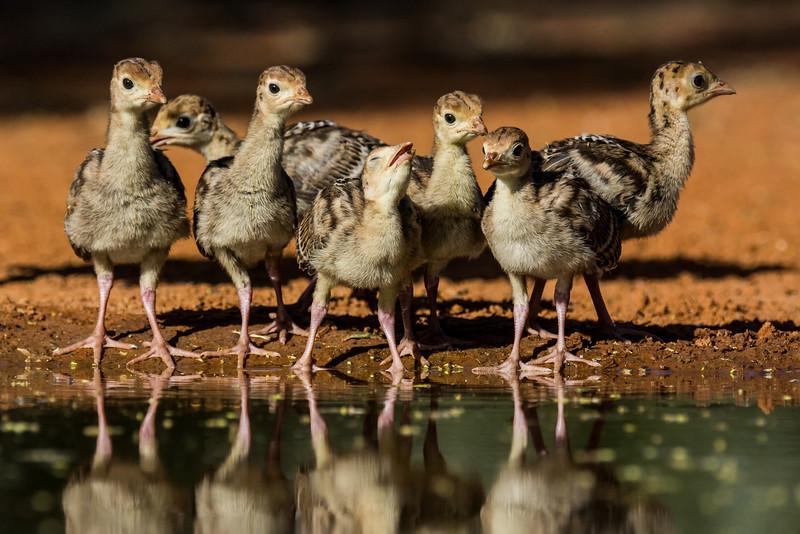 NAb7271 Wild Turkey (Meleagris gallopavo) Poults, Edinburg, TX