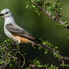 NAb7268 Scissor-tailed Flycatcher (Tyrannus forficatus), Edinburg, TX