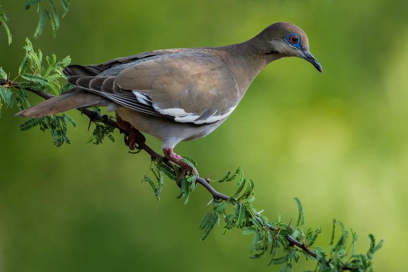 NAb7192 White-winged Dove (Zenaida asiatica), Edinburg, TX